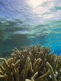 Thicket of staghorn coral near the surface of the sea, Bonaire, Dutch Antilles. Huge expanse of staghorn coral stretching into the distance and reflected in the royalty free stock image
