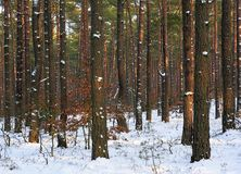 Thicket of trees and bushes of a natural forest in winter. Thicket of trees and bushes of a natural forest in a winter season Royalty Free Stock Images
