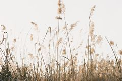 Thicket of reeds Royalty Free Stock Image