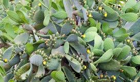 Flourishing cactuses. Thicket of yellow flourishing cactuses in Apulia, Italy stock image