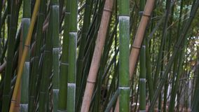 Thickets of bamboo in the park. Bushy thickets of bamboo in a wild nature park stock video footage
