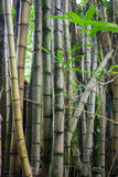 Thickets of bamboo Stock Image