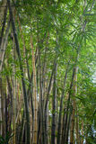 Thickets of bamboo Stock Photos