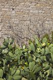 Thickets of blooming cactus Royalty Free Stock Photo