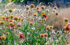 Thickets of flowering and fallen Gaillardia with green leaves royalty free stock images