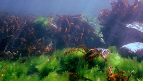 Thickets of brown grass, seaweed on the sea floor. Amazing underwater world and the inhabitants, fish, stars, octopuses and vegetation of the Sea of Japan stock video
