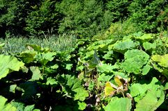 Thickets of burdock Stock Photo