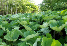 Thickets of a butterbur of hybrid Petasites hybridus Stock Photography