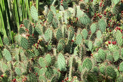 Thickets of cactus. In the park Stock Image