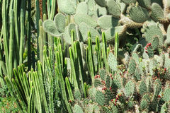 Thickets of cactus Stock Image