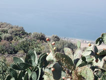 Thickets of cactus. On the shore of the Sea of Galilee Royalty Free Stock Photography