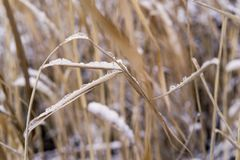 Thickets of a cane or reed with the snow Stock Photo