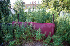 Thickets of cannabis in the yard royalty free stock photos