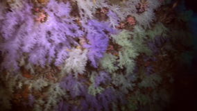 Thickets of colorful soft coral on reef in ocean. stock footage