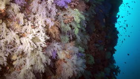 Thickets of colorful soft coral on reef in ocean. stock video