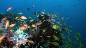 Thickets of colorful soft coral on reef in ocean. stock video footage