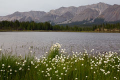 Thickets of cotton grass on the shore of a mountain lake. Stock Image