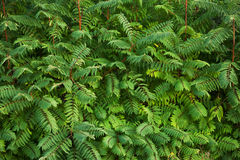 Thickets of dense green bush Royalty Free Stock Image
