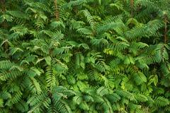 Thickets of dense green bush Royalty Free Stock Image