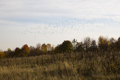 Thickets of dry grass near the trees, and a large flock of birds Stock Photo
