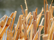 Thickets of dry reeds outdoors in autumn Royalty Free Stock Photo