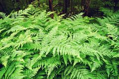 Thickets of fern leaves. Forest landscape. Fern leaves in the forest. Russia, Leningrad region Royalty Free Stock Images
