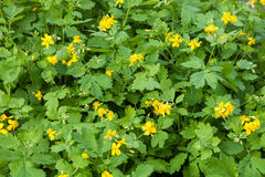 Thickets of flowering Celandine plants Royalty Free Stock Photography
