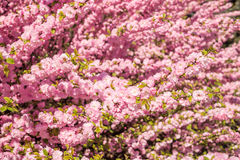 Thickets of flowering peaches. Beautiful flower texture Royalty Free Stock Photos