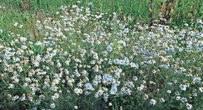 Thickets of flowers field of camomiles Stock Image