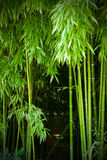 Thickets of a  green bamboo Stock Images