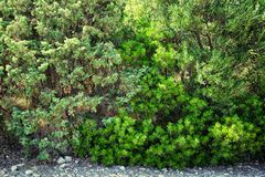 Thickets of green bush. stock photography