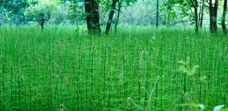 Thickets of green horsetailn stock photography