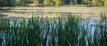 Thickets of high reed grass on the swamp royalty free stock photos