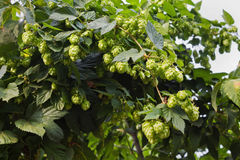Thickets of hops Stock Images