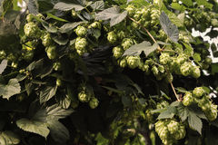 Thickets of hops Royalty Free Stock Photos