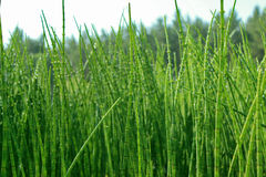 Thickets horsetail. Horsetail thickets on background of sky and trees Royalty Free Stock Photography