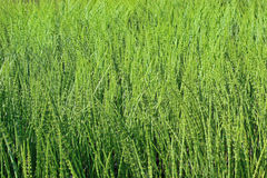 Thickets horsetail Stock Photos