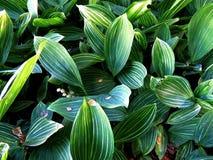 Thickets lily May (Convallaria majalis) Royalty Free Stock Photography