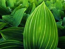 Thickets lily May (Convallaria majalis) Royalty Free Stock Images