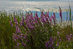 Thickets loosestrife by the river. Stock Photos