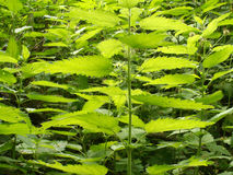 Thickets of lot green scalding nettles closeup Stock Image