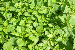 Thickets of lot green scalding nettles closeup Royalty Free Stock Image