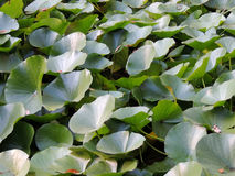 Thickets of lotus (Nelumbo) Royalty Free Stock Images