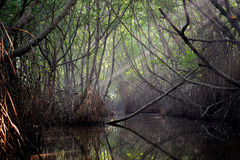Thickets of mangrove trees in the tidal zone Royalty Free Stock Photo