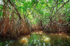 Thickets of mangrove trees in the tidal zone. Sri Lanka Stock Photography