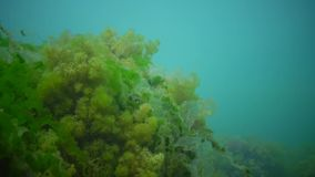 Thickets of marine green and brown algae. In the Black Sea stock video