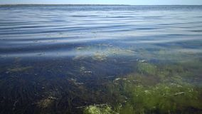 The thickets near the shore of a seaweed flowering plant of Zostera and seaweed of Enteromorpha. Tiligul Liman, Odessa region, Ukraine stock video footage