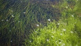The thickets near the shore of a seaweed flowering plant of Zostera and seaweed of Enteromorpha. Tiligul Liman, Odessa region, Ukraine stock video