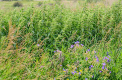 Thickets of nettles. On summer meadow royalty free stock photos