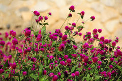Free Thickets Of Red Clover Royalty Free Stock Photography - 28050417